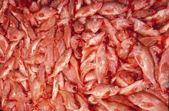 MSCcertifiedredfish
